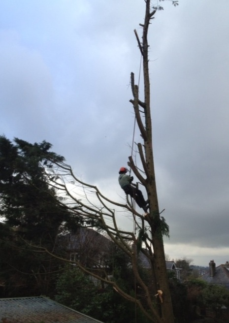 CL TREECARE Tree surgeon, Hedge Trimming, Dismantling
